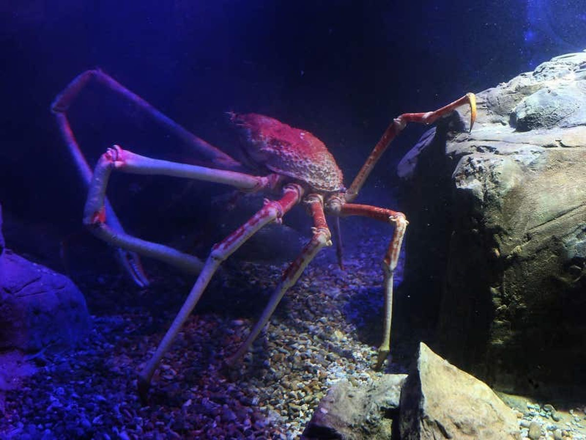 Spider crab walking with 'grace and verve' thanks to yoga-inspired aid