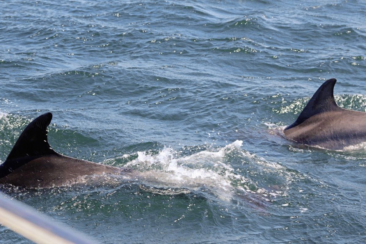 'While fishing on Out the Blue these beautiful dolphins paid us a visit, a wonderful experience' Photo taken of dolphins this year. Supplied by Out the Blue.. (29765343)