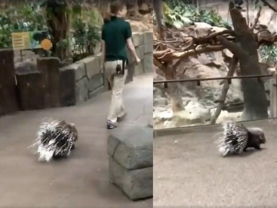 Watch this prickly porcupine start her day with a lovely morning stroll