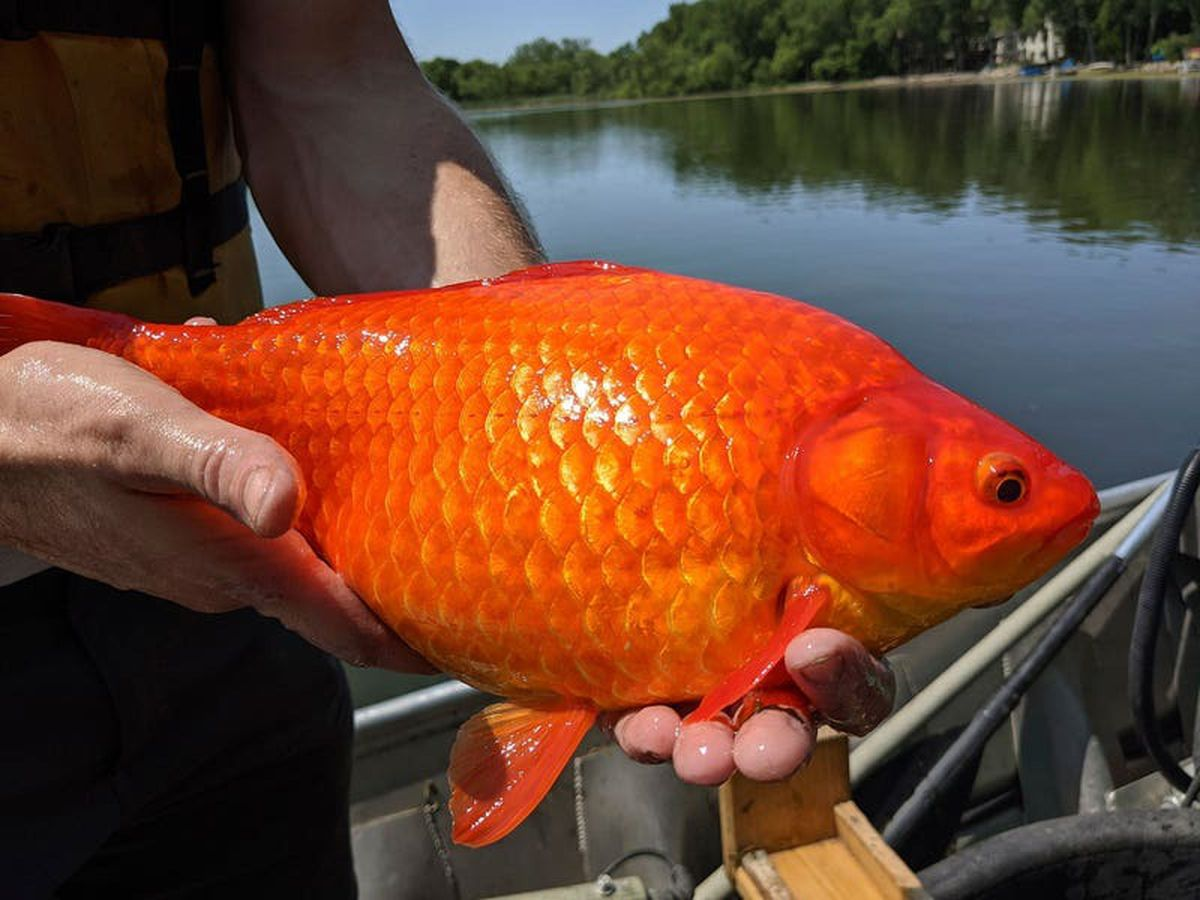 Giant goldfish turn up in US state's ponds and lakes