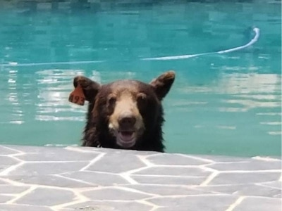Roaming bear takes a dip in Los Angeles swimming pool before being rescued