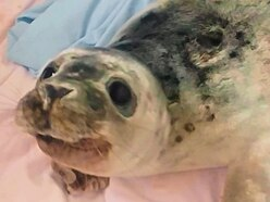 Hannah is GSPCA's sixth seal pup