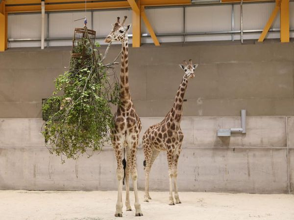 Giraffes return to Edinburgh Zoo for first time in 15 years