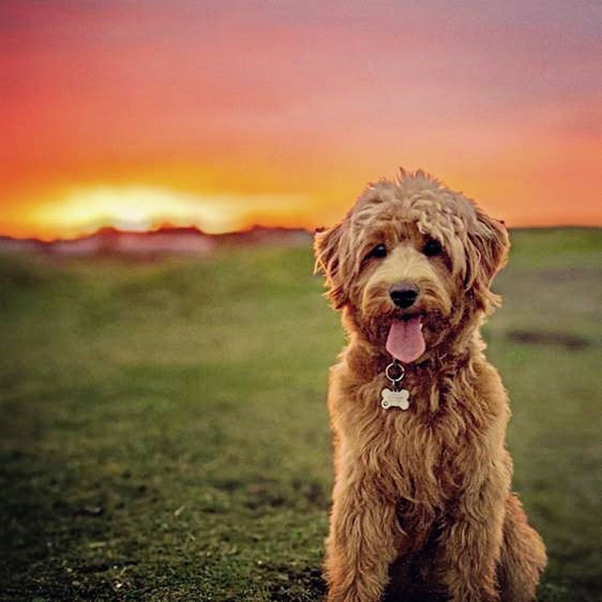 Flo the Goldendoodle owned by Richard Cranch won a 'hotly contested' competition to be the new canine face of GY1 for 2021. Image by Richard Cranch. (29102783)