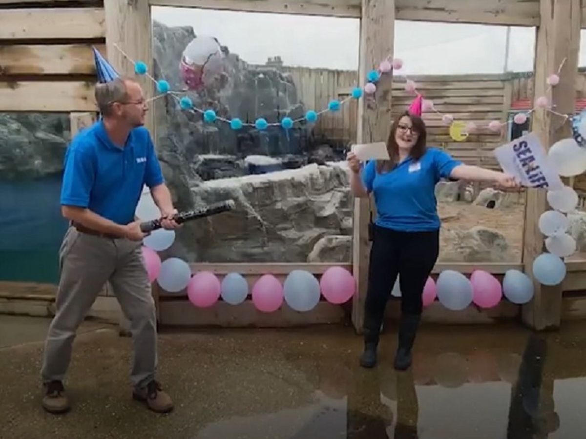 Aquarium stages gender reveal ceremony for penguin chick