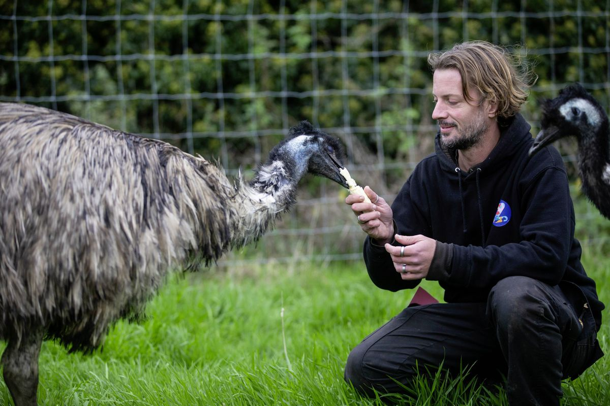 Ryan Guilcher of The Accidental Zoo has had to spend his nights with his new emus over the last couple of weeks due to fireworks upsetting them. (Picture by Peter Frankland, 28900899)