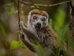 Four members of one of the world's rarest primate species arrive at Chester Zoo