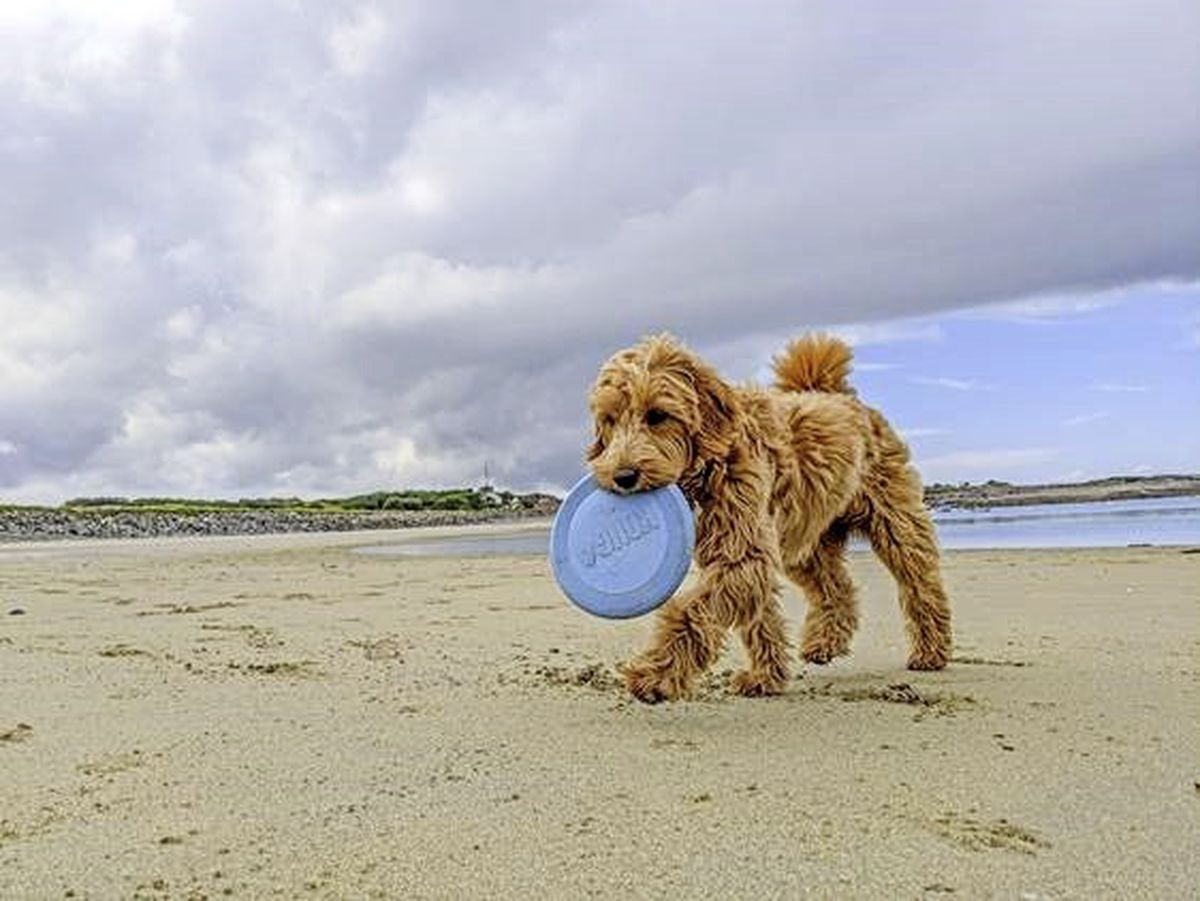 Flo the Goldendoodle owned by Richard Cranch won a 'hotly contested' competition to be the new canine face of GY1 for 2021. Image by Richard Cranch. (29102781)
