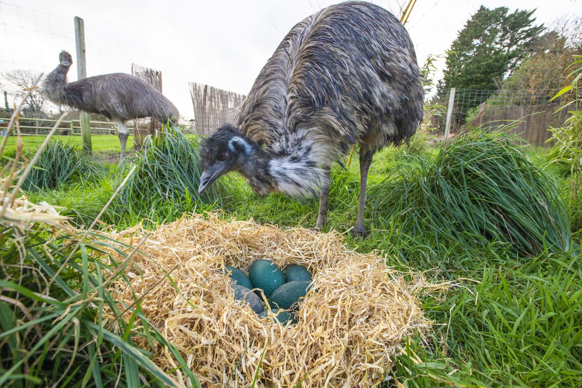 George and Mildred with the freshly-laid emu eggs at the Accidental Zoo. (Picture by Sophie Rabey, 29024924)