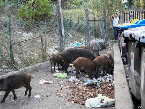 Romans say enough to wild boar invasion