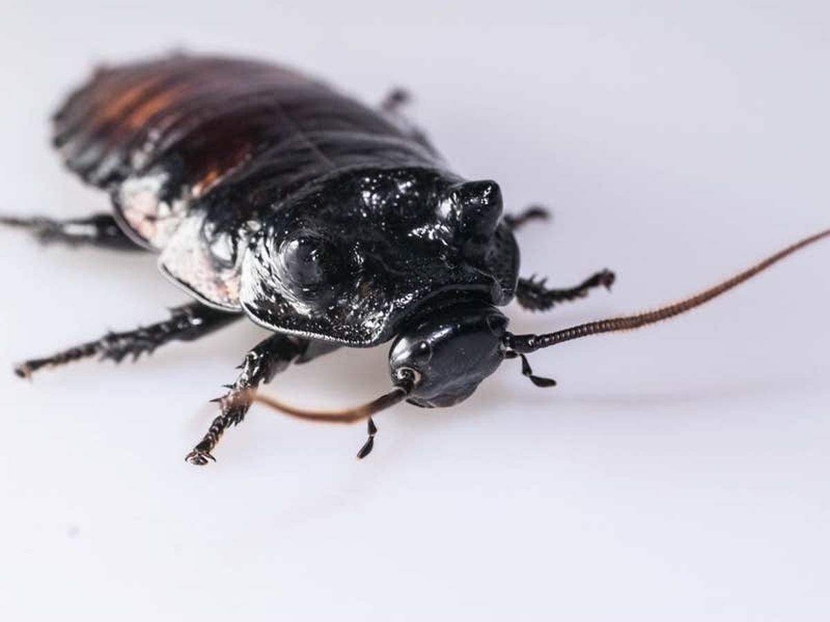 Some cockroaches have hidden strength, study suggests