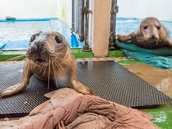 Recovering seal pups need more fish