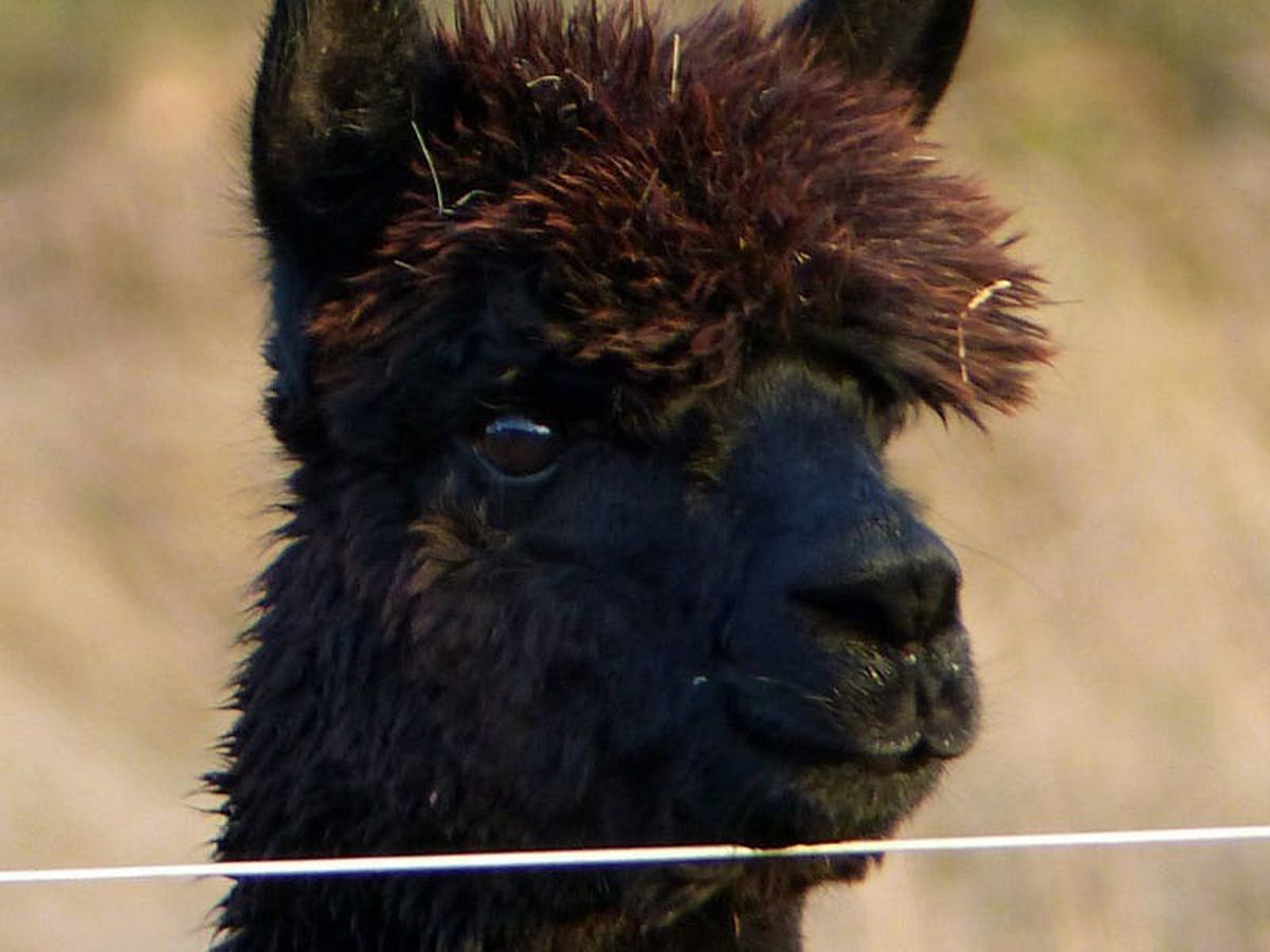 Farmer loses High Court bid to save stud alpaca Geronimo from being killed