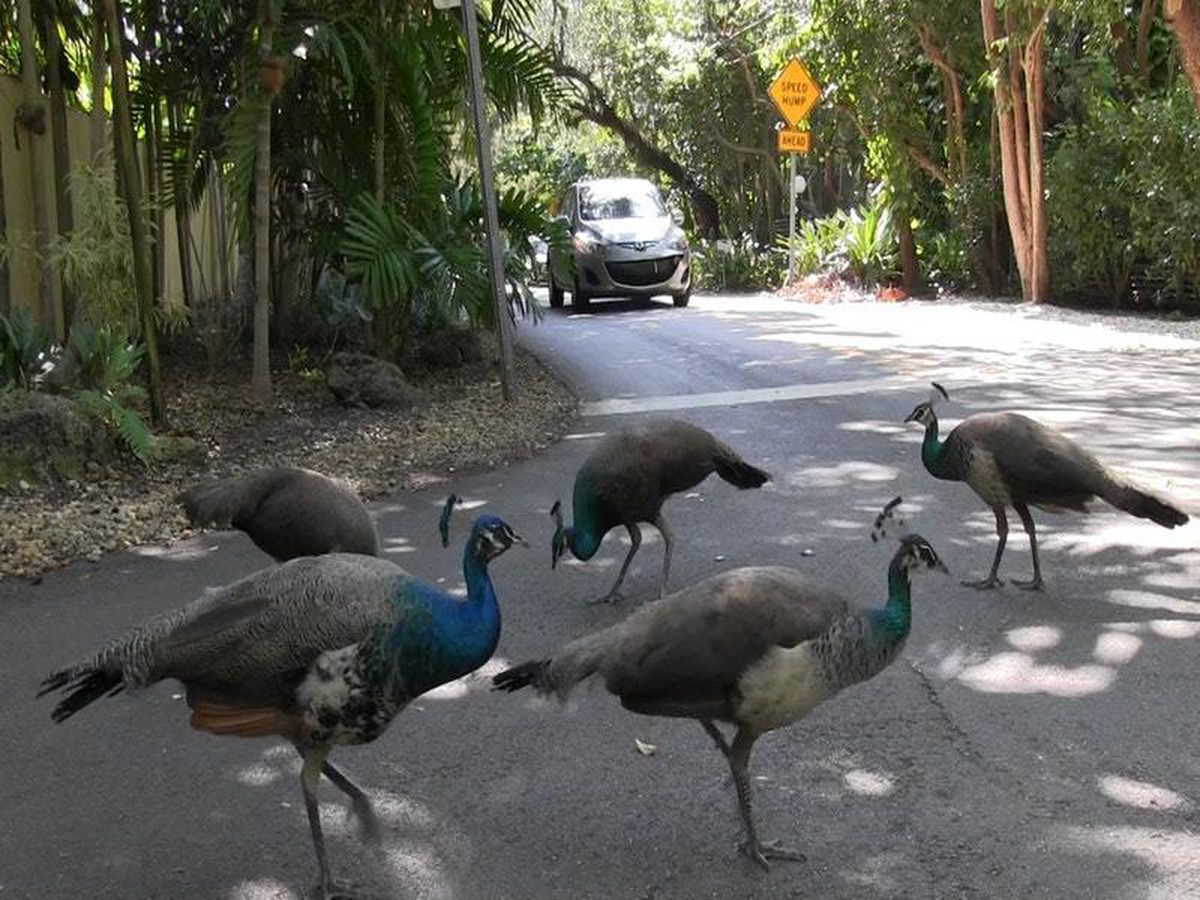 Miami to relocate pack of peacocks after residents cry fowl
