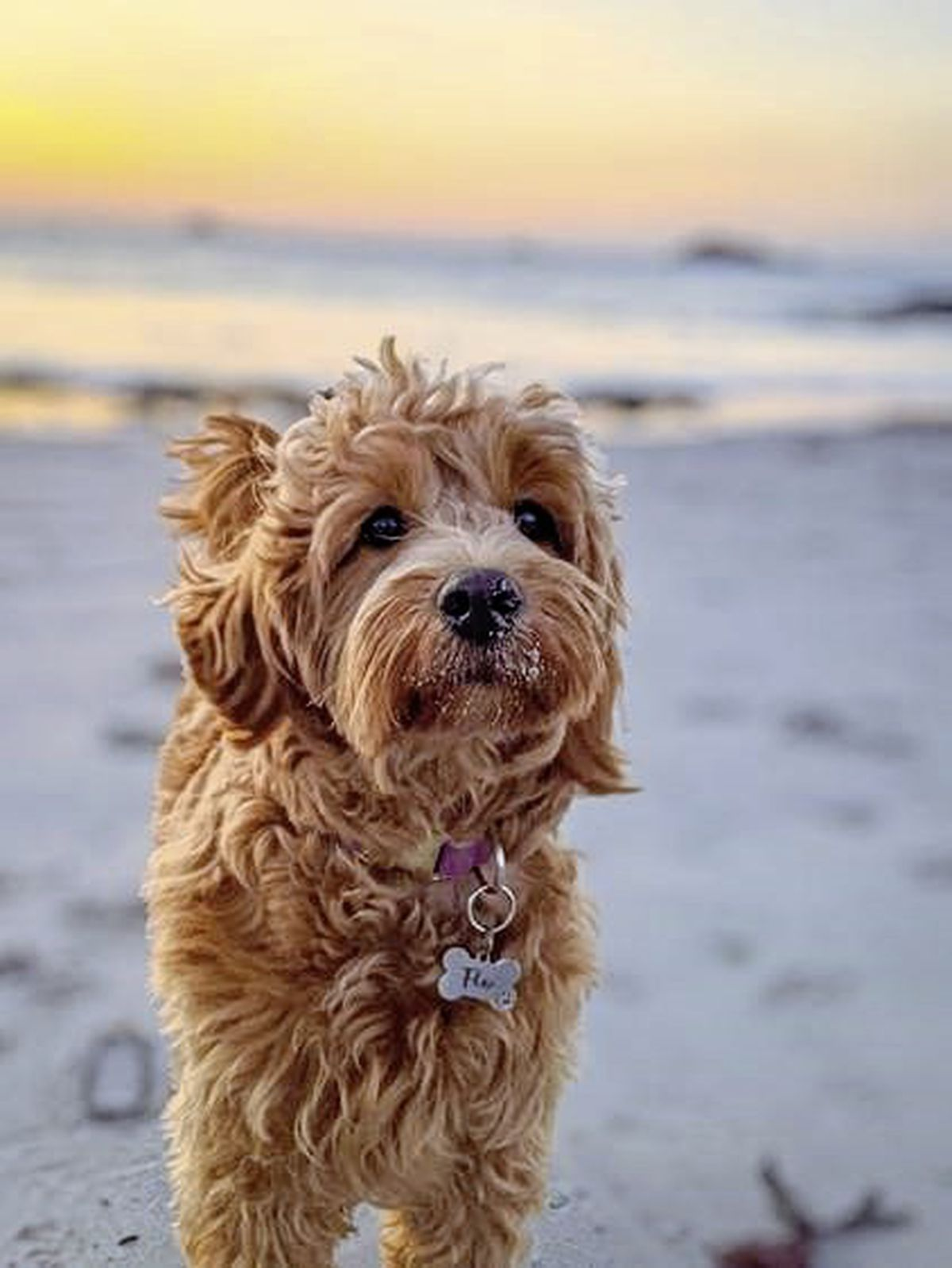 Flo the Goldendoodle owned by Richard Cranch won a 'hotly contested' competition to be the new canine face of GY1 for 2021. Image by Richard Cranch. (29102786)