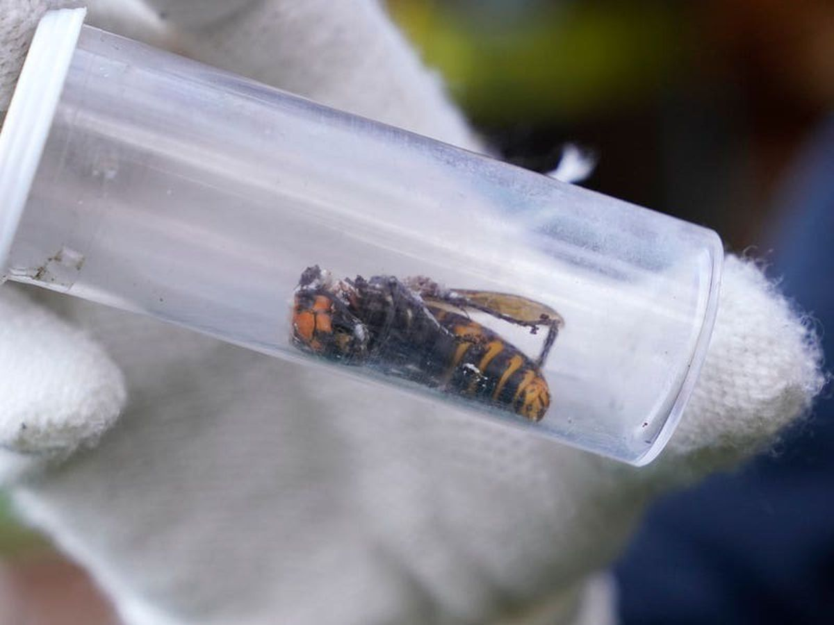 Scientists discover first 'murder hornet' of the year in US