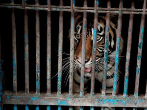 Tigers at Indonesian zoo recovering from coronavirus