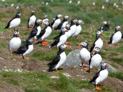 Puffins return to Farne Islands for breeding season