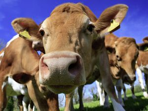 Childhood memories of happy herds of cows must be false. (Picture by al clark/Shutterstock)