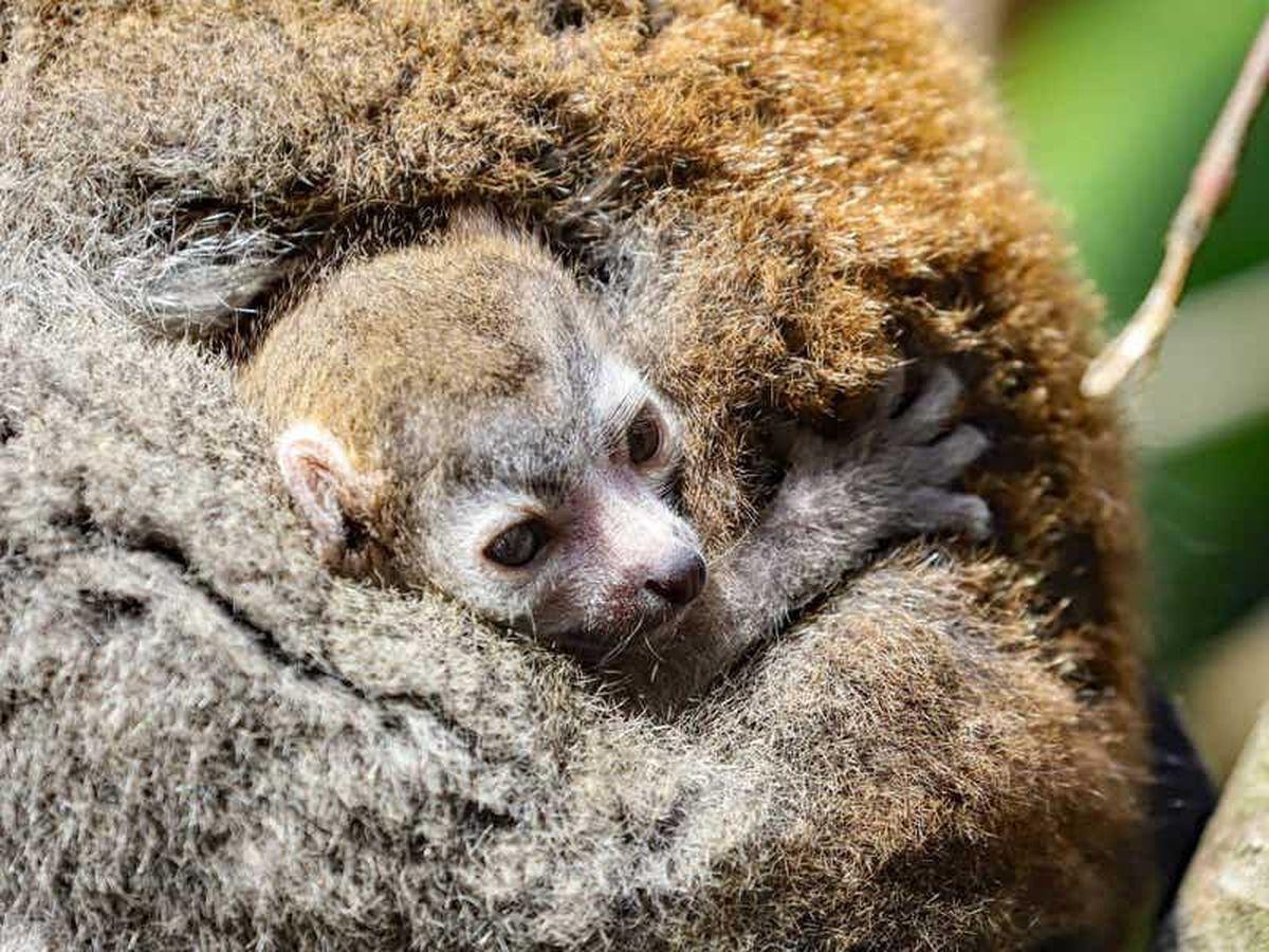 Endangered lemur born at Newquay Zoo