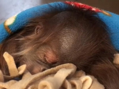 Watch this baby orangutan hiccuping in its sleep, because it's absurdly cute