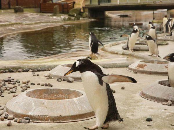 Pebble-pinching penguins live-streamed online as breeding season begins