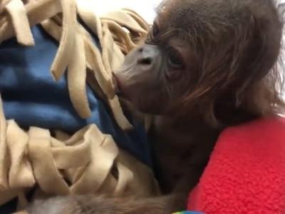 Watch: Newborn orangutan coos as it plays with its carer's fleece