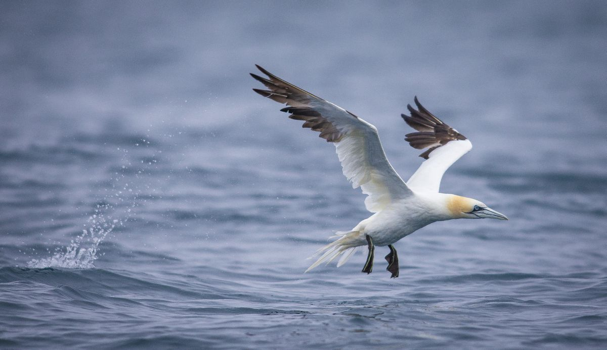 Observations of gannets have revealed a marked change in how they have been hunting for food. (Picture by Peter Frankland, 28239567)