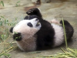 'Adorable' baby panda climbs tree on first public appearance