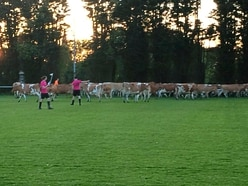 Bovine intervention: cows stop footie match