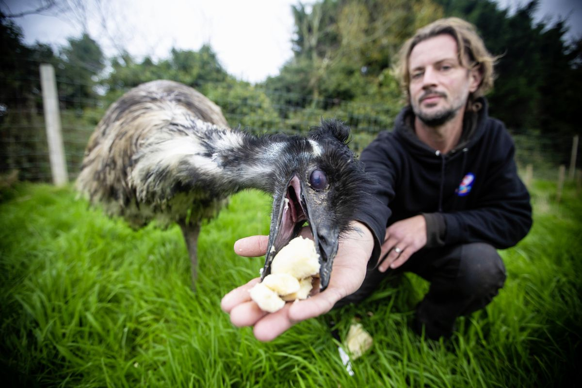 George the emu injured himself running into the fence when fireworks spooked him, causing him some nasty injuries to his neck and chest. Here he is being fed some of his favourite treat - banana - by Ryan Guilcher from The Accidental Zoo. (Picture by Peter Frankland, 28900936)