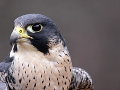 Warning after peregrine falcon deaths