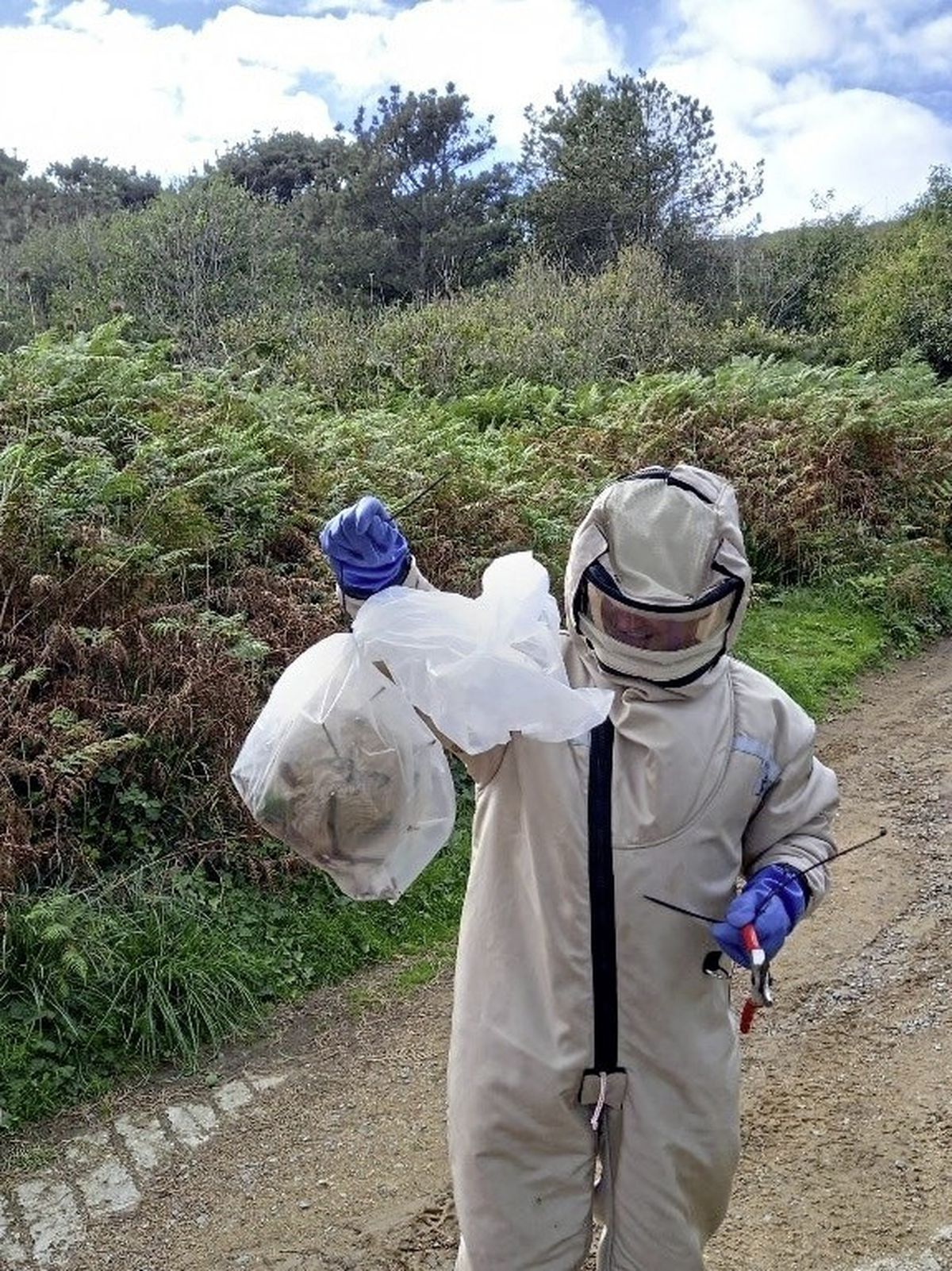 Asian Hornet Strategy field officer Damian Harris carries the bagged nest from its location near Herm's Belvoir Bay. It was the first nest found on Herm and was spotted after an angler saw a swarm of the insects after his bait.